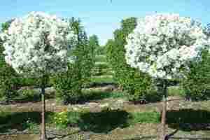 Морозостойкие деревья и кустарники: фото, названия и описание