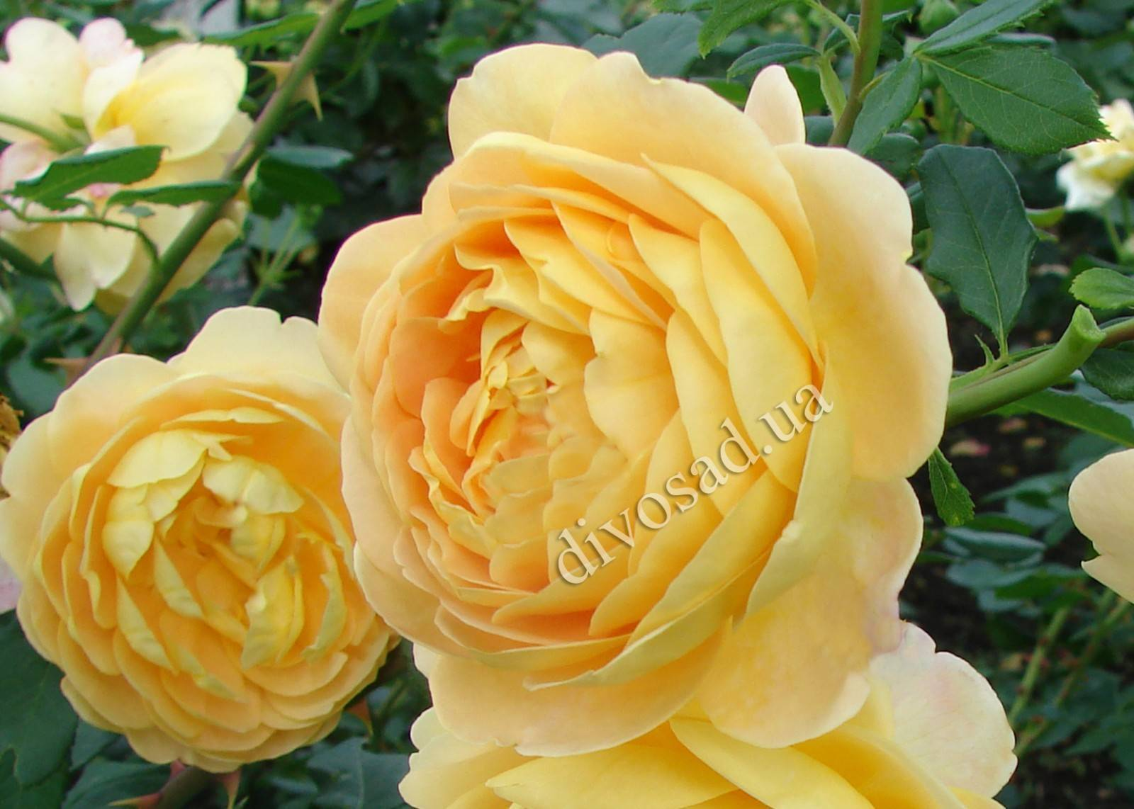 Голден селебрейшен роза