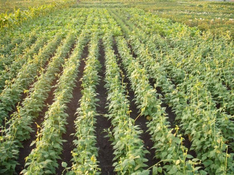 Пошаговое руководство посадки фасоли в открытый грунт