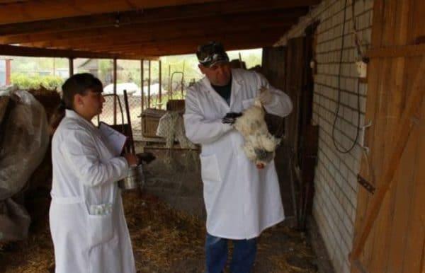 Тилозин для птиц │ инструкция по применению тилозина у индюшат, цыплят
