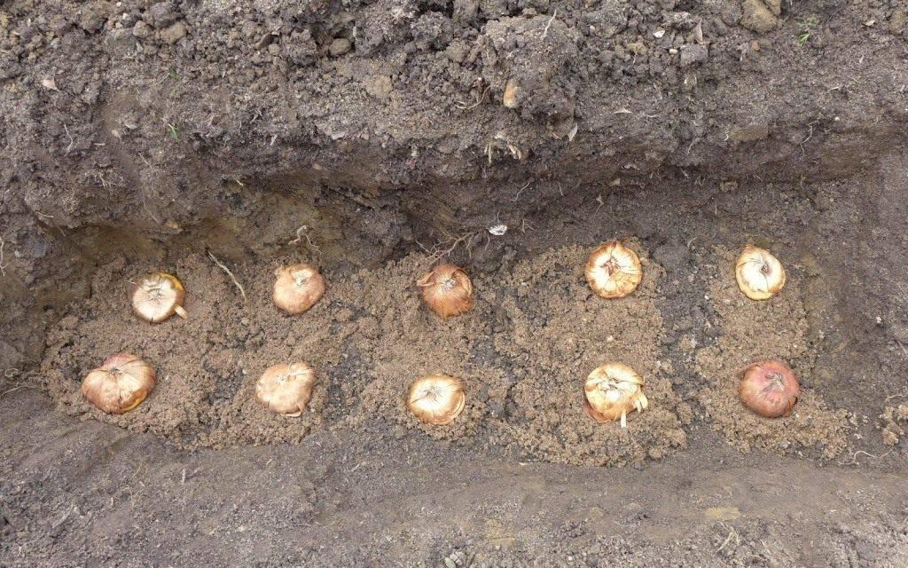 Выращивание гладиолусов из луковиц: когда сажать (фото)