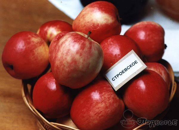 Сорт яблони строевское – описание, фото