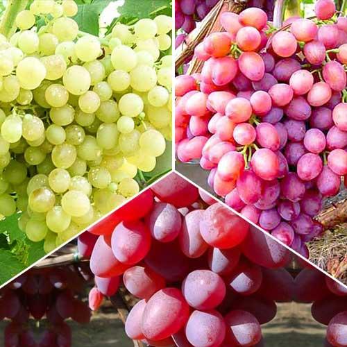 «кишмиш 342» — бессемянный гибридный сорт винограда венгерской селекции