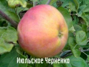 Сорт яблони июльское черненко