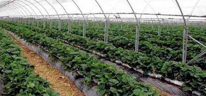 Выращивание клубники в теплице круглый год в домашних условиях