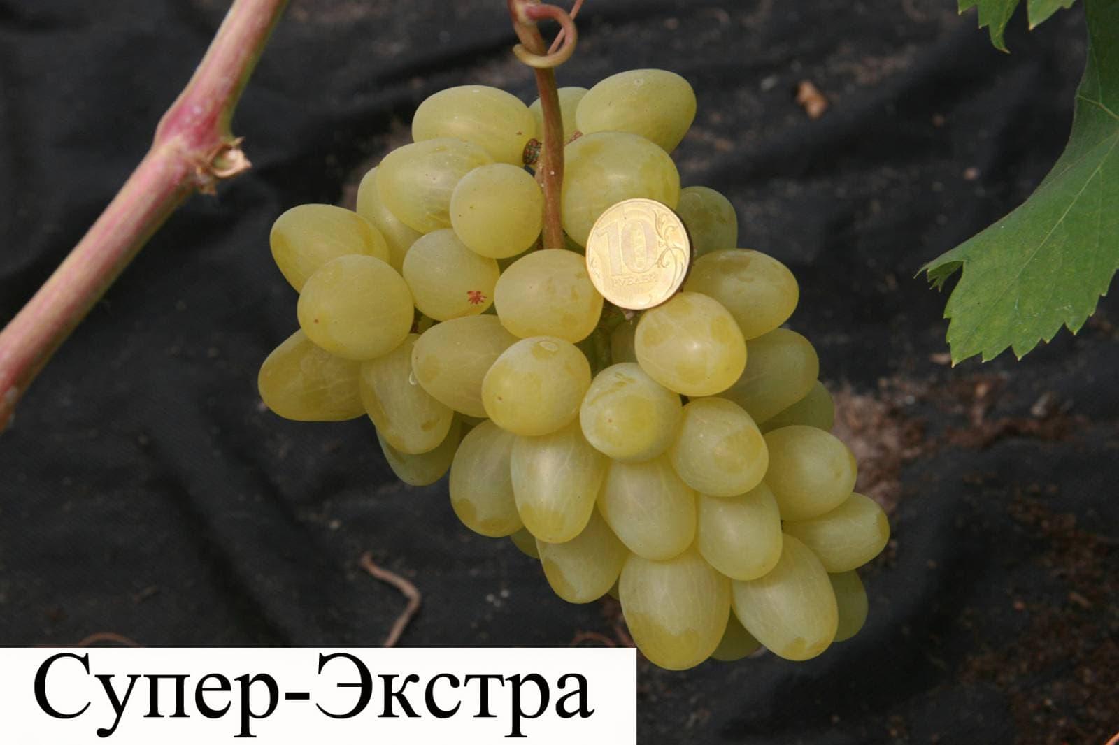 Виноград супер экстра: описание сорта