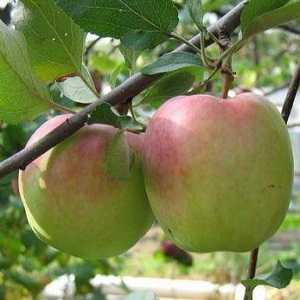 Плодовый сад и питомник - оценка зимостойкости сортов яблони по итогам зимнего сезона 2015/2016 года