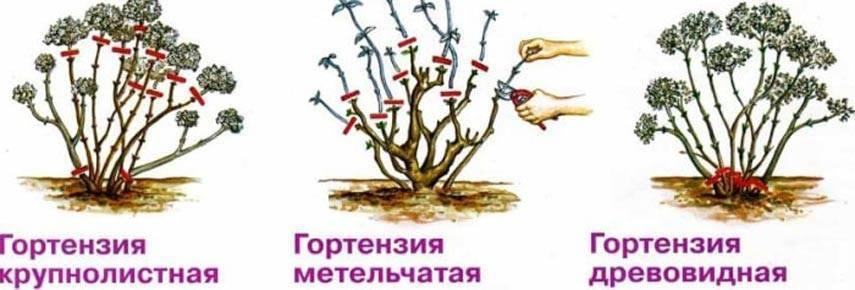Весенняя обрезка гортензии метельчатой, древовидной, крупнолистной