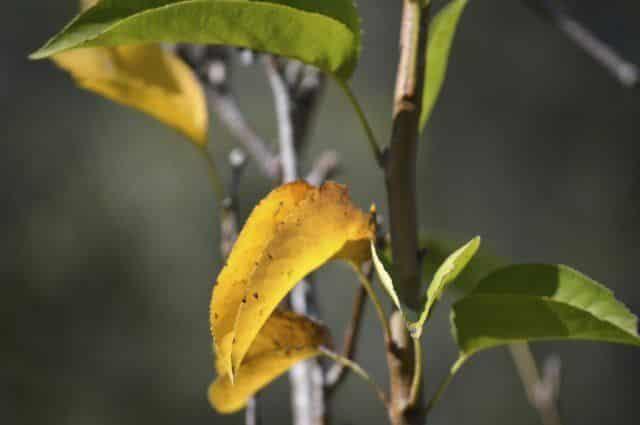 Ржа на листьях яблони. коричневые пятна на яблоне- причины появления и методы борьбы с болезнью