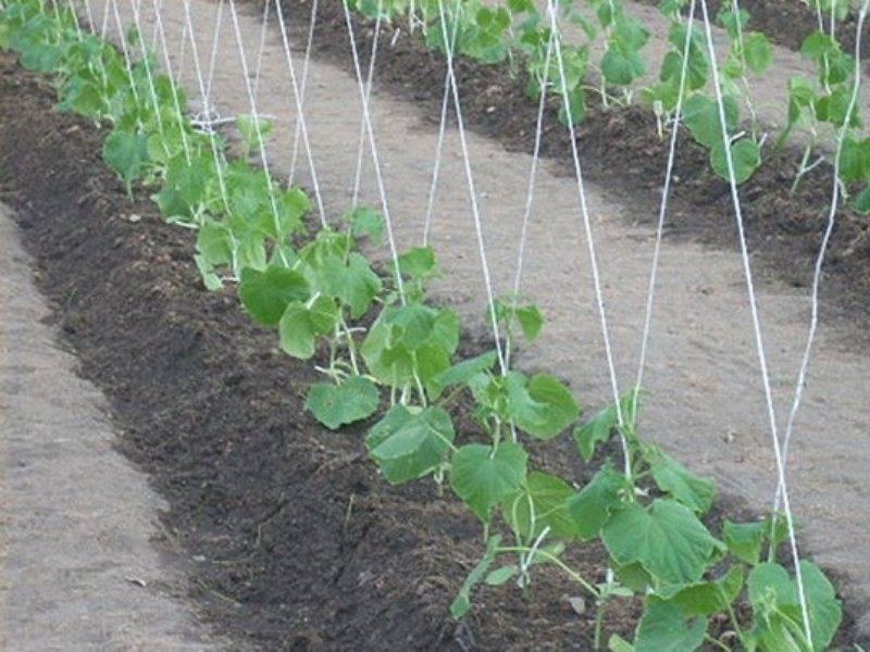 Подготовка почвы в теплице для посадки огурцов весной