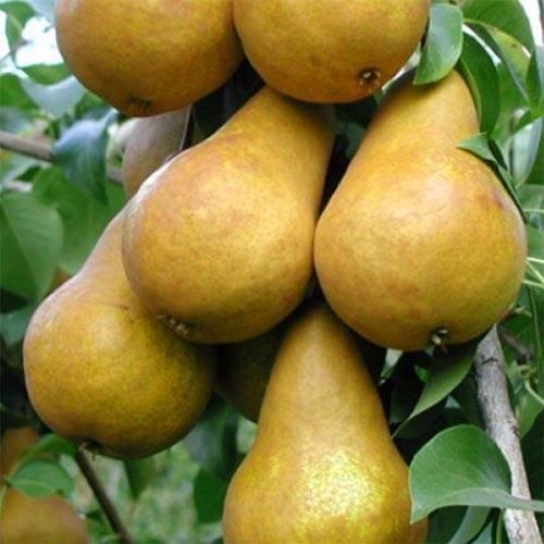 Груши бере боск: описание сорта и всех характеристик, фото плодов