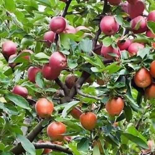 Яблоня – лечебные свойства