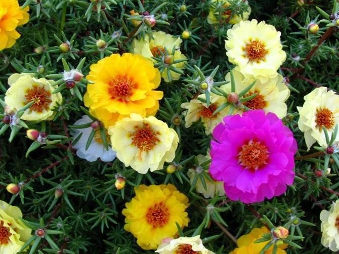 Портулак: описание, посадка и уход за неприхотливым цветущим суккулентом, виды и сорта, лечебные свойства