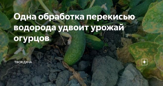 О поливе перекисью водорода огурцов: правила обработки семян перед проращиванием