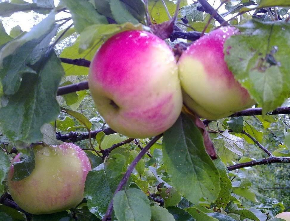 Сорт яблонь десертный петрова: описание сорта и его фото