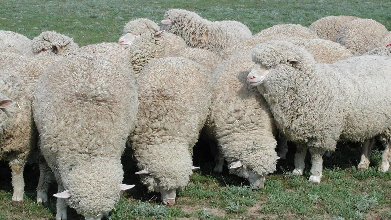 Разведение овец в домашних условиях: рекомендации ветспециалистов |  ветеринарная служба владимирской области