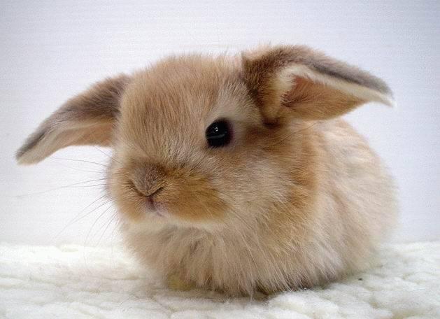 Декоративные кролики - уход и содержание в квартире