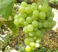 Виноград оригинал - описание сорта, особенности выращивания и уход