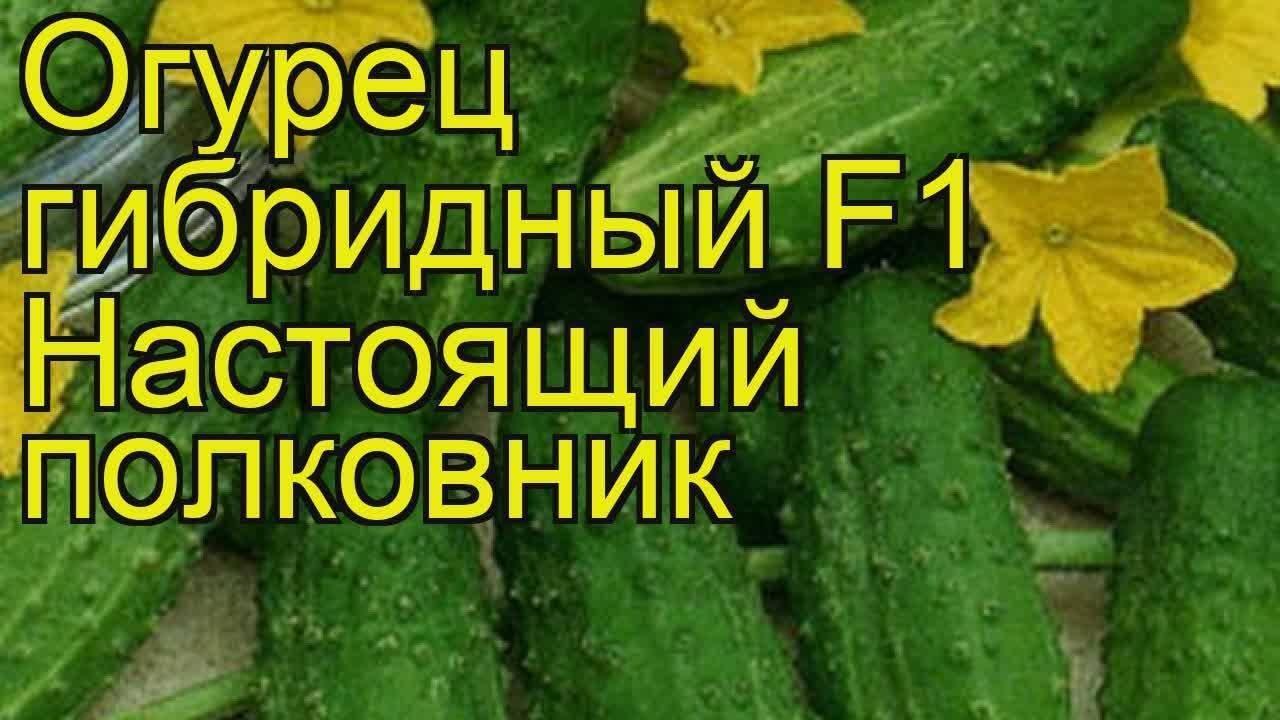 Описание и характеристика сорта огурцов настоящий полковник f1: посадка и уход
