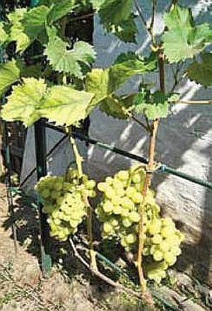 Нагрузка виноградного куста