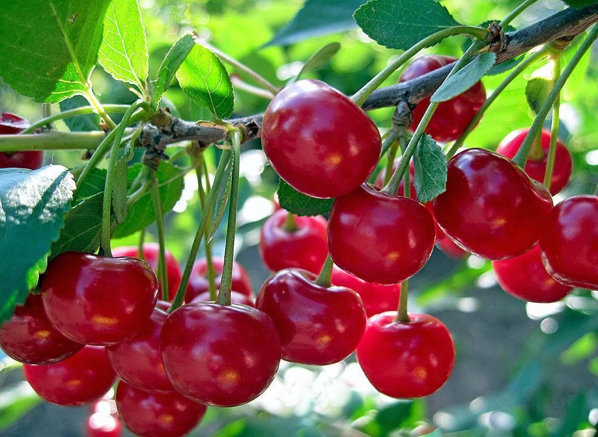 Как посадить черешню, чтобы она давала хороший урожай?