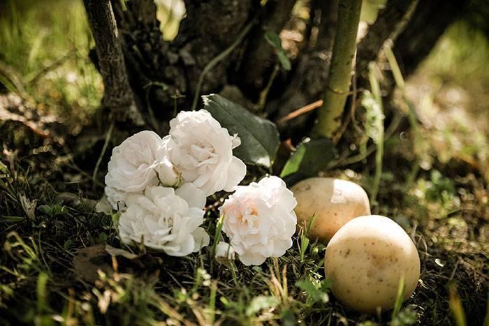 Роза в картошке: способ укоренения и выращивания растения из черенка