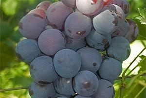 Сорт винограда кардинал – сладкие ягоды с сакральным именем