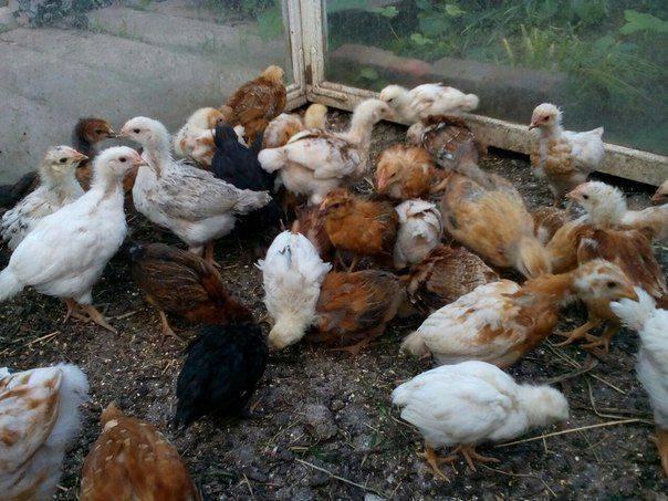Кормление месячных цыплят в домашних условиях: рацион, правила ухода