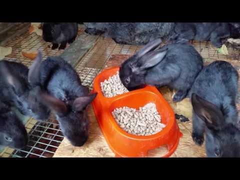 У кролика вздулся живот – что делать? причины вздутия живота у кролика
