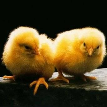 Для чего принимать и как разводить в воде метронидазол цыплятам?