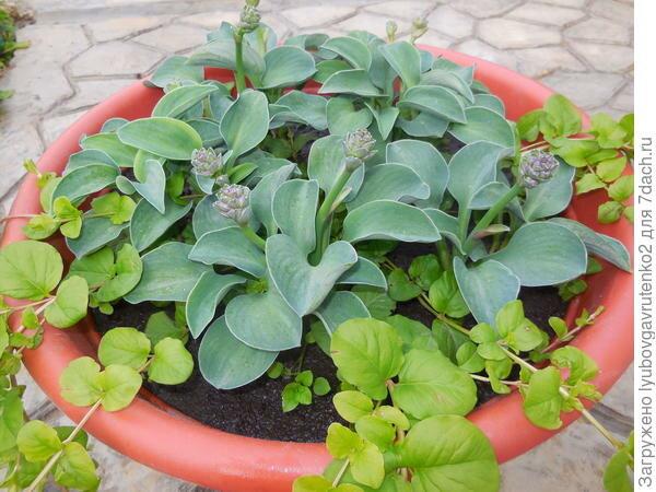 Хоста выращивание дома. хоста в домашних условиях в горшке растут ли хосты в комнатных условиях