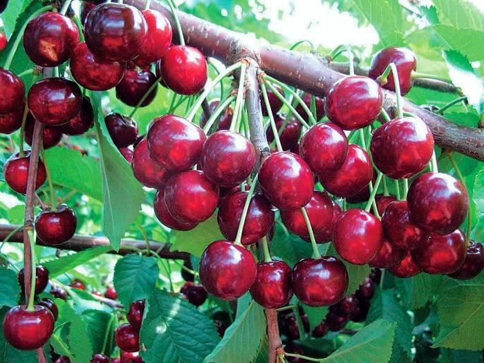 Поздний сорт черешни бряночка: история возникновения, особенности ухода и выращивания