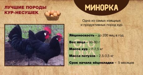 Куры минорки - описание с фото и видео