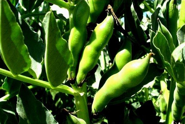 Бобы: полезные свойства, применение и противопоказания, как использовать плоды в лечебных целях