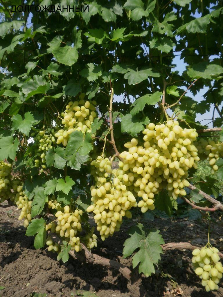 Виноград долгожданный
