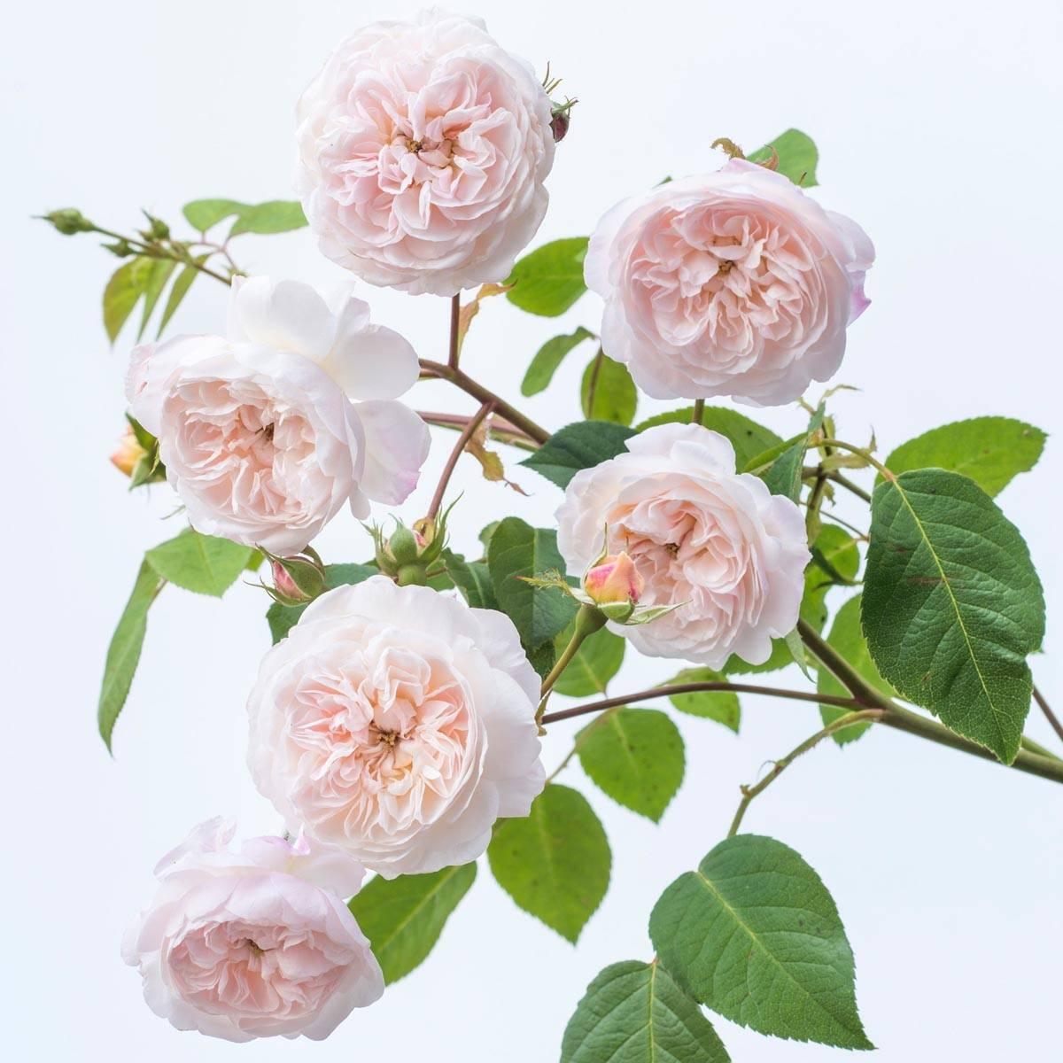 Рамблер роза что это