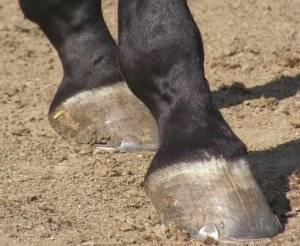 О копытах лошади: строение, формы и размеры копыт лошади