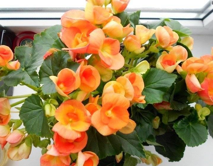 Бегонии зимнего цветения – элатиор и лоррен