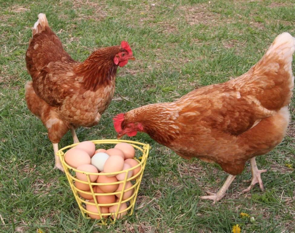 Куры породы редбро (21 фото): описание взрослых кур и цыплят. особенности выращивания бройлеров в домашних условиях
