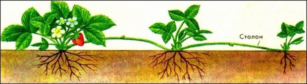 Когда и как правильно пересаживать клубнику