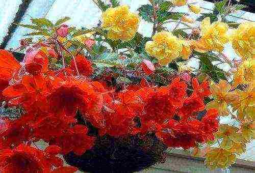 Бегония махровая (28 фото): вечноцветущие красные и желтые бегонии, сорта «сказочная страна», «фиона» и «квин», уход за комнатными бегониями в домашних условиях