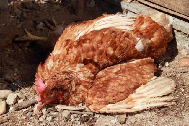 Болезнь марека кур: описание, методы борьбы