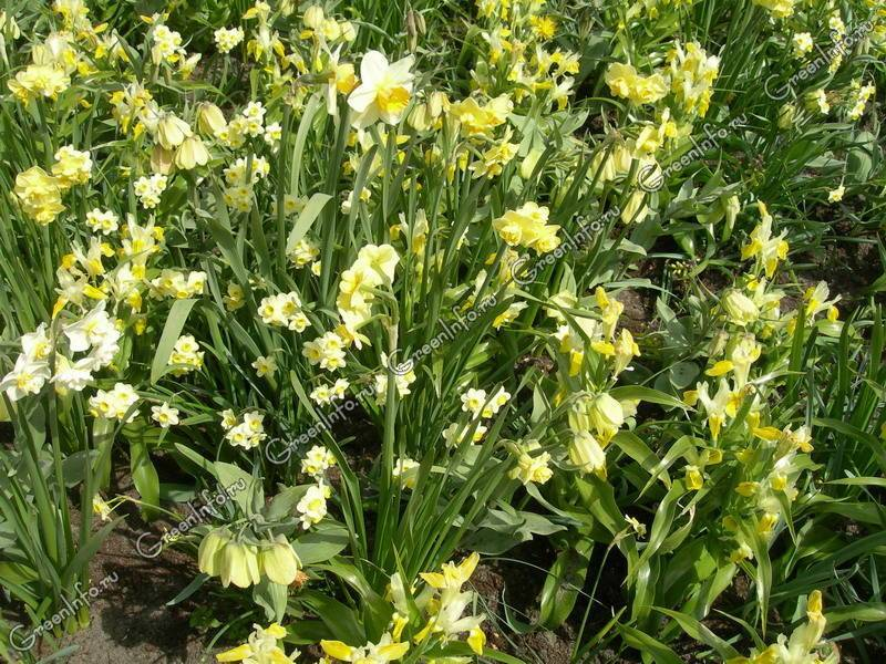 Нарциссы: посадка осенью в открытый грунт: как и когда