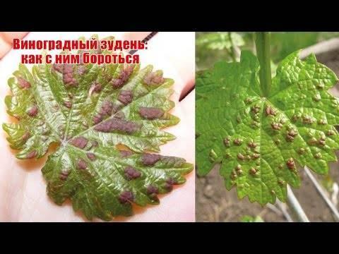 Паутинный клещ на комнатных растениях, как бороться - народные средства, дихлофос, препараты