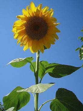 Как выращивать подсолнух в домашних условиях