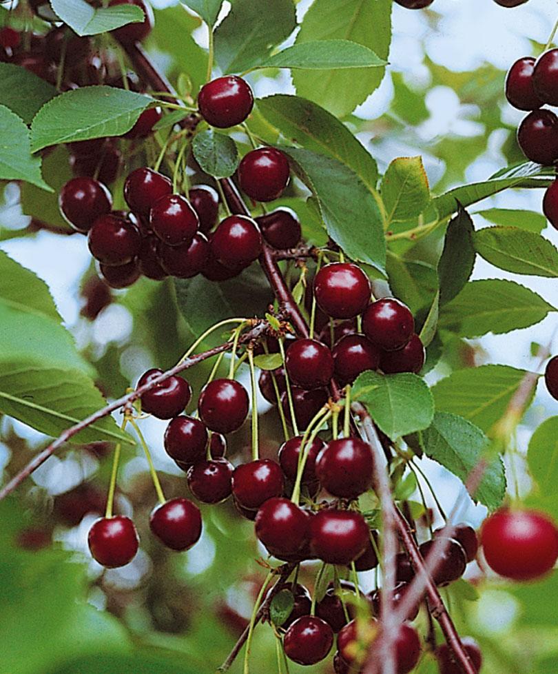 Вишня сорта любская — кислая, но урожайная!