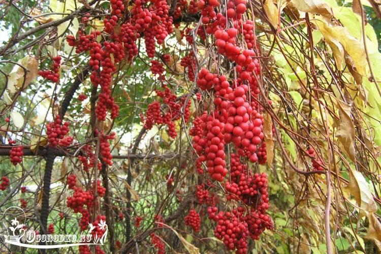 Китайский лимонник - выращивание и уход на садовом участке