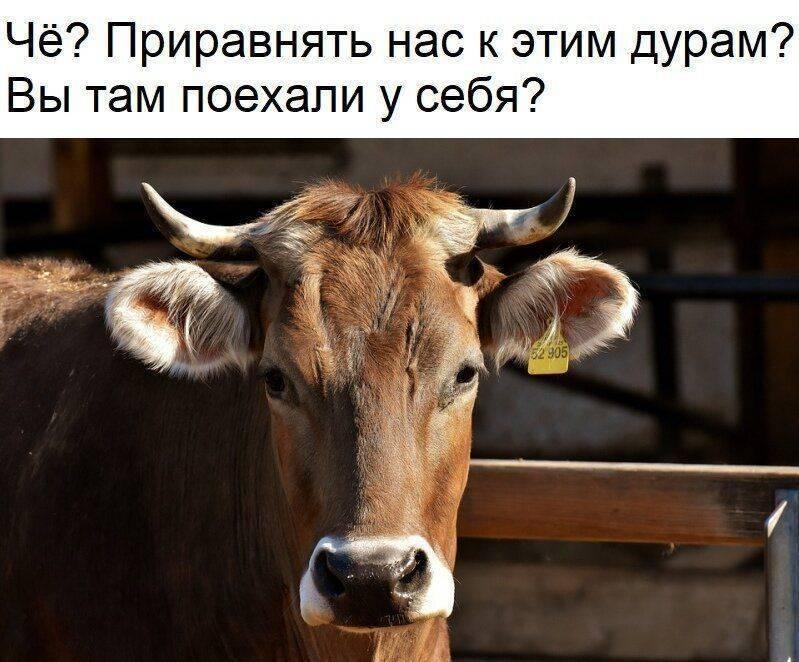 Как приучить корову к доильному аппарату – дойка для коров