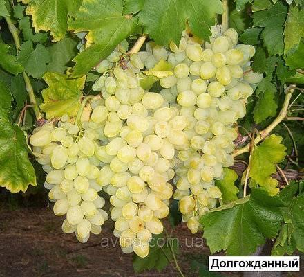 Виноград долгожданный – долго ждать не придется!