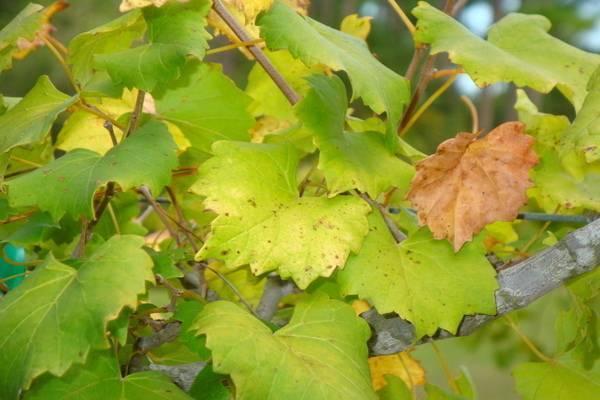 Листья винограда сохнут и желтеют: что предпринять
